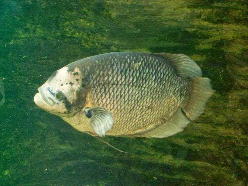 Ikan Gurame Dunia Hijau Sehat